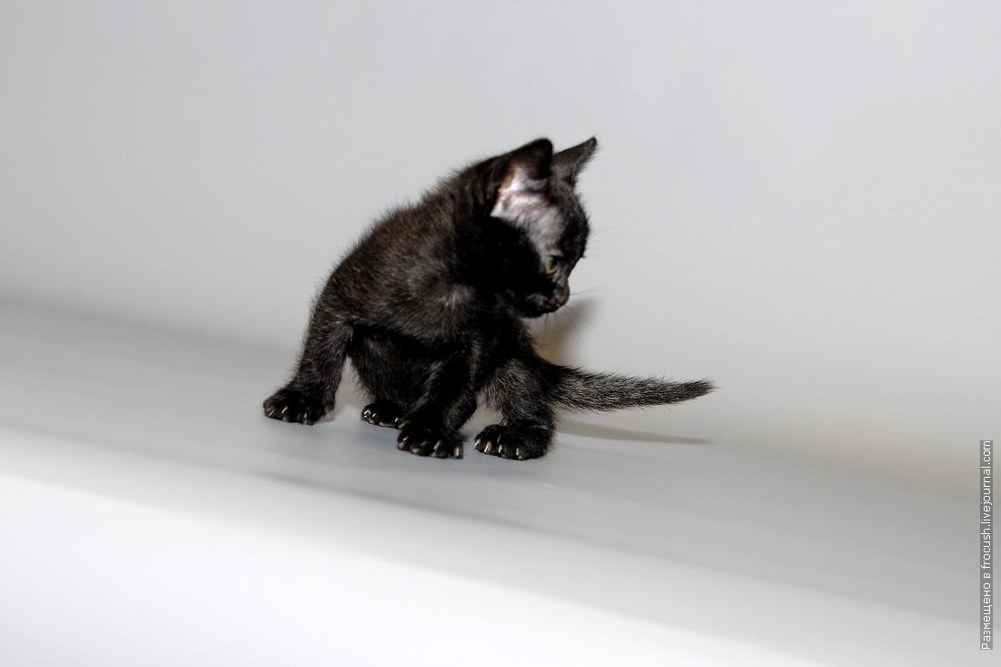 бомбейский котенок девочка