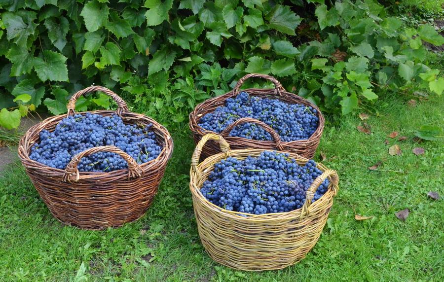 vinograd-1.jpg