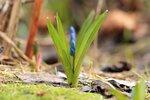Пролеска сибирская (лат. Scilla siberica) - первые весенние синие цветы проклюнулись сквозь прошлогоднюю листву