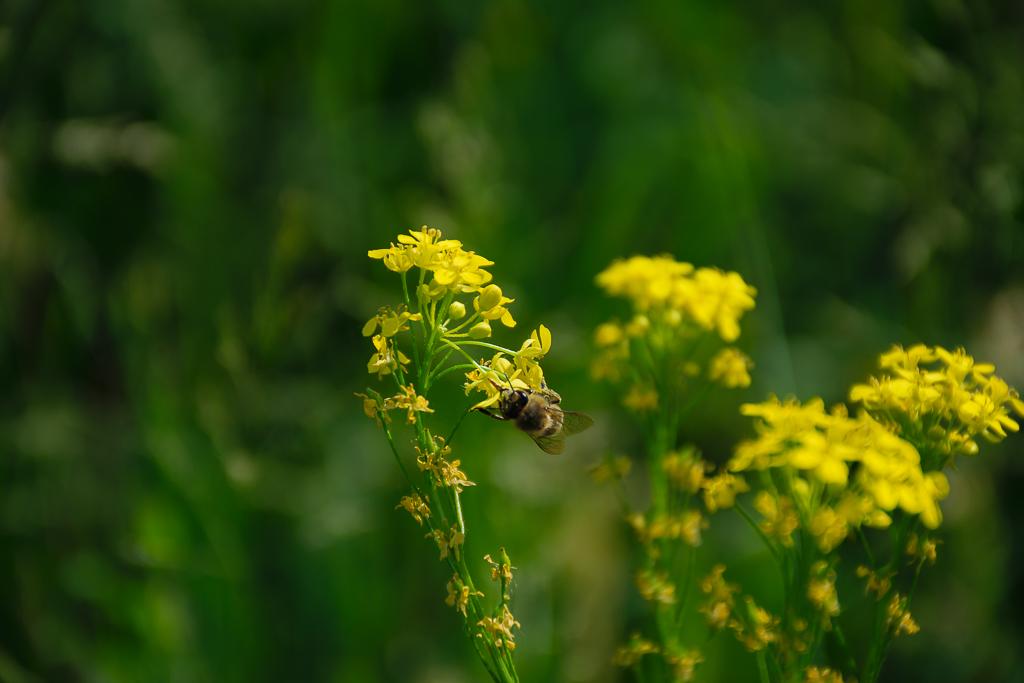 1. Обладатель Nikon D5300 KIT 18-140 VR начинает тест новой камеры со снимков пчёл и шмелей. Проверено на себе. (Настройки при съемке: f=5.6, ISO 100, выдержка 1/640 секунды, ФР=140 миллиметров)