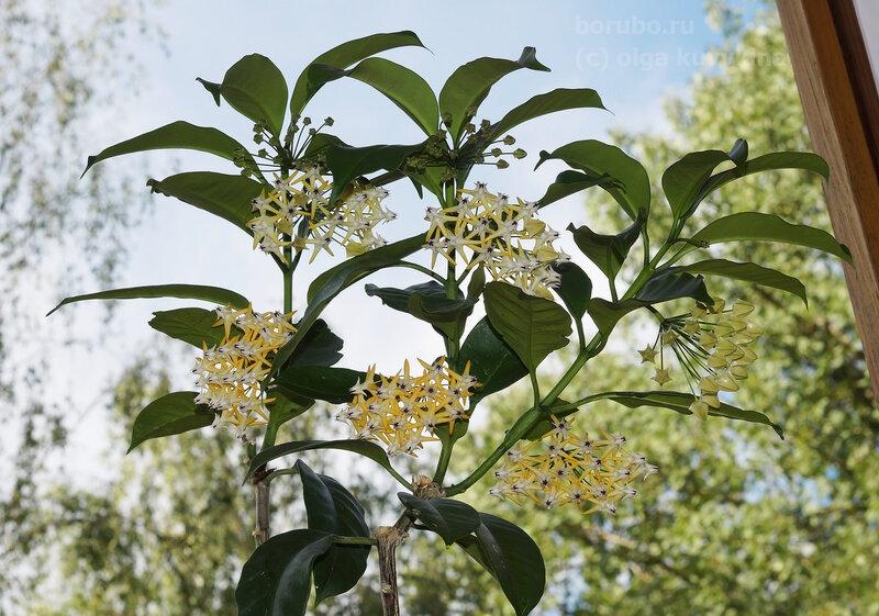 Хойя мультифлора - цветет на окне круглый год, не пахнет