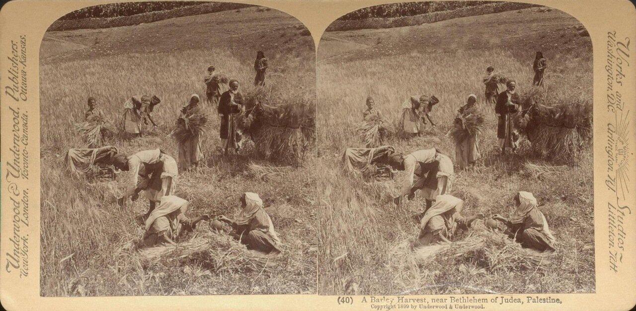 Вифлеем, окестности. сбор урожая. 1899