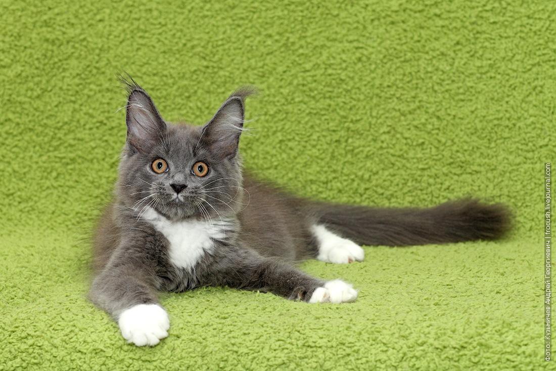 продажа котенок Мейн-кун