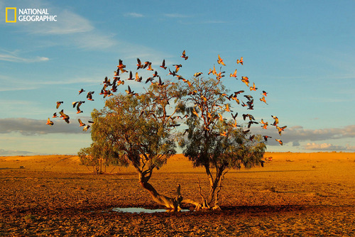 In the Strezlecki desert of Australia a flock of galahs replenish on the only small water avaliable at the base of this lonely tree.Its a rare photo opportunity to get such a clear and symetrical shot of these beautiful  birds in flightin the middle of