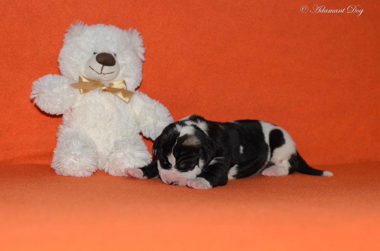 Продаются щенки в питомнике Олрей. Москва. 0_e66c0_7109e332_XXXL