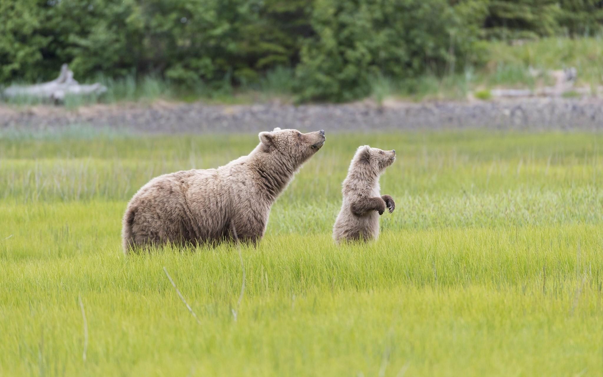 медведи в поле большой и маленький