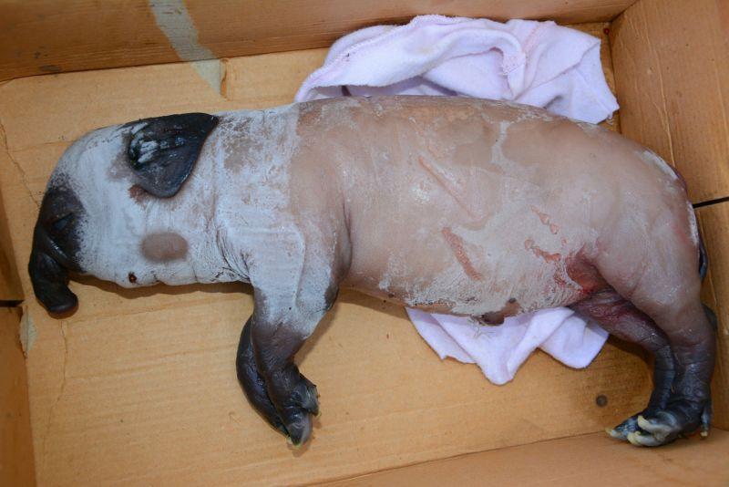 В Китае родился и умер слоненок поросенок 0 14a87d 2d8b30c7 orig