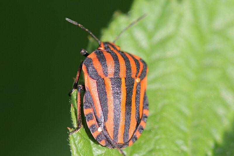Клоп в черно-красную полоску - щитник линейчатый, он же графозома полосатая, он же клоп итальянский, он же Graphosoma lineatum