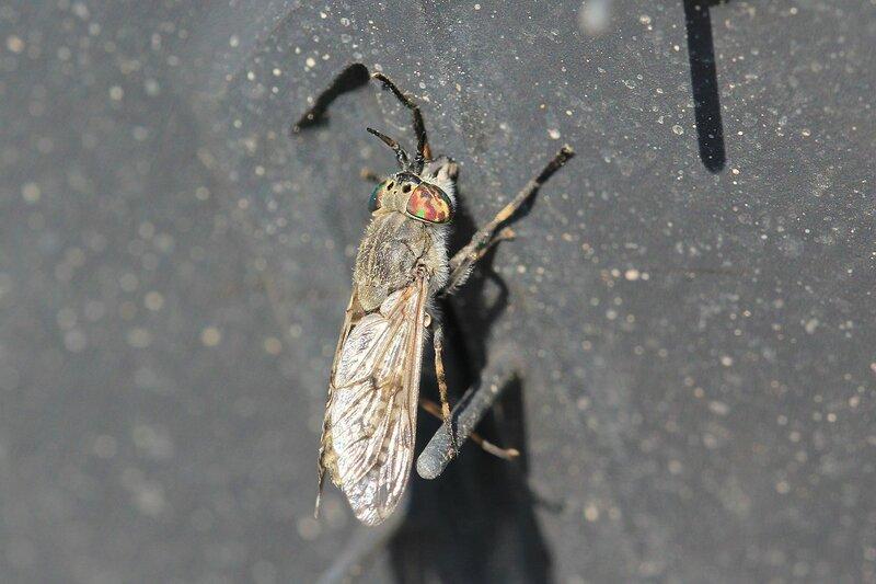 Слепень (Tabanidae) пытается прокусить чёрную резину автомобильного колеса, мечтая напиться крови