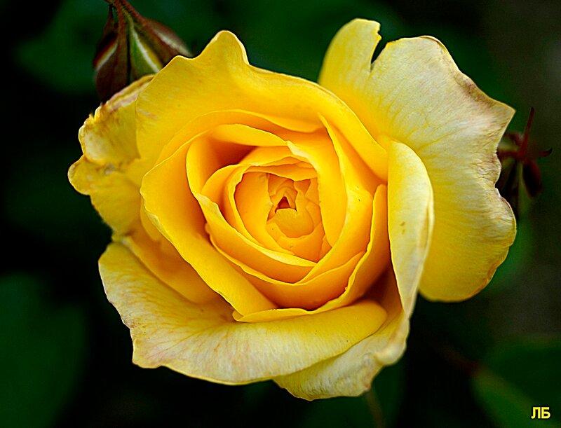 Царица жёлтых роз и золотистых пчёл.