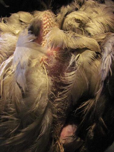 на базе, на лечении, врановые, птица, серая ворона