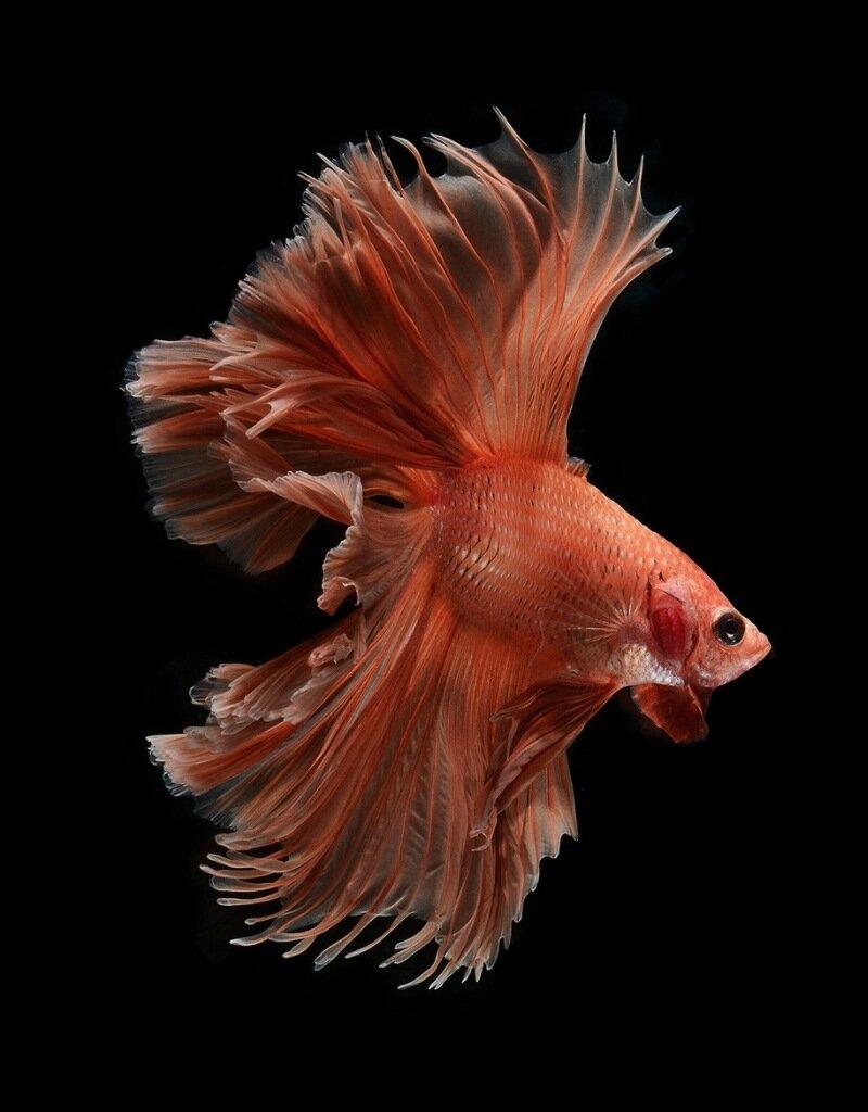 Fighting fishes, Visarute Angkatavanich280.jpg