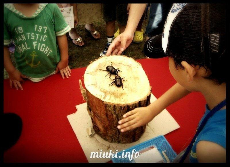 Бои японских жуков кабутомуши. Азартное развлечение