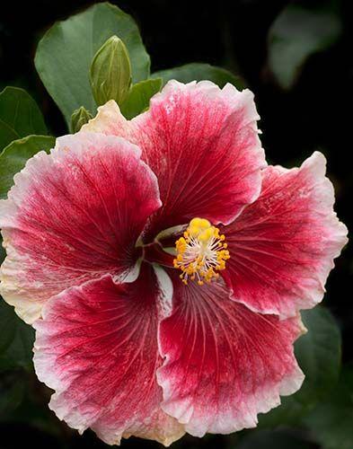 Многолетние цветы, переносящие жару-Гибискус