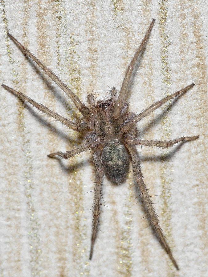 домовой паук фото стене