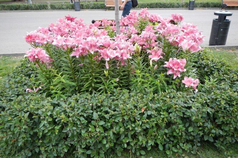 Розовые лилии вокру столба освещения центрально аллеи в парке им. Горького