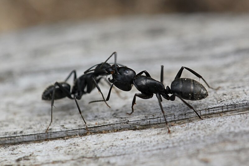 рабочий бурый лесной муравей (Formica fusca) кормит муравья-солдата