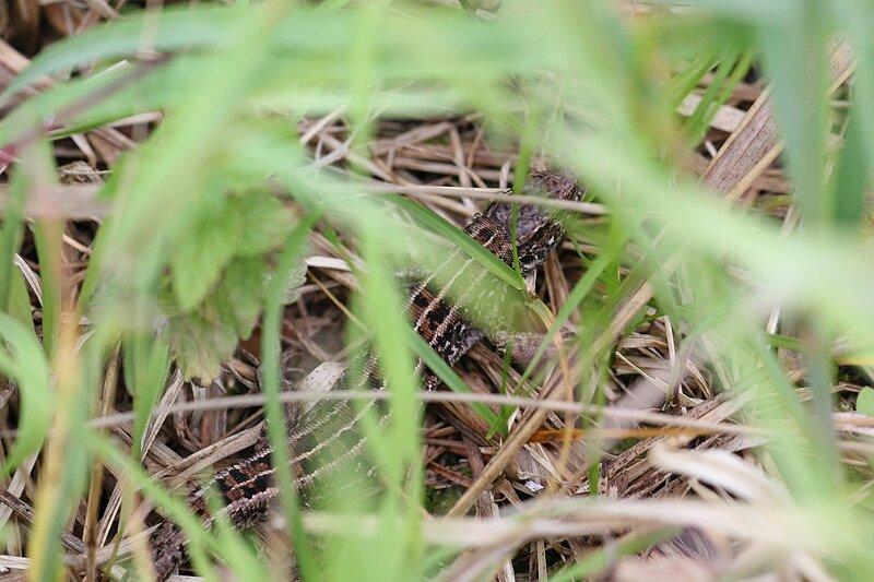 ящерица, спрятавшаяся в траве