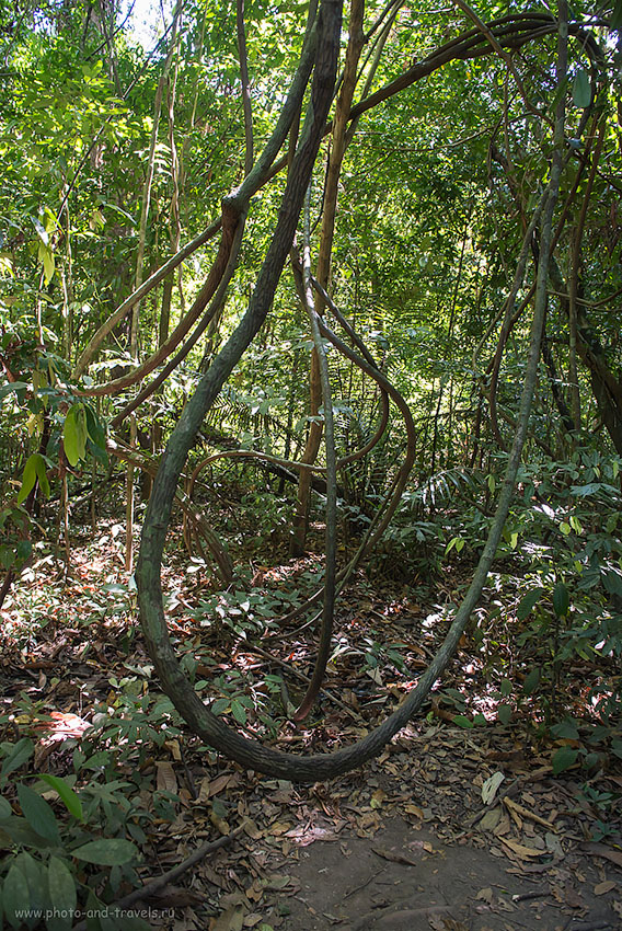 Фотография 18. Лианы в природном парке Khao Pra Bang Khram Wildlife Sanctuary. Отчет о поездке в провинцию Краби дикарями. Отдых в Таиланде зимой 2015 (800, 24, 4.5, 1/40)
