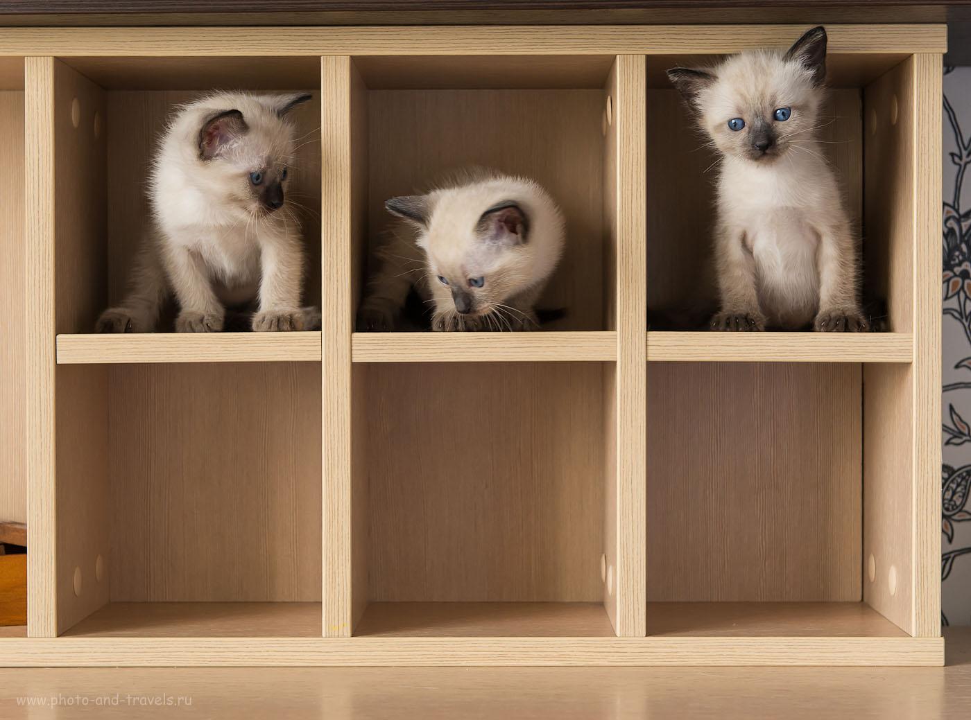 Фото 4. Сидели три товарища. Учимся фотографировать кошек. (настройки фотоаппарата Nikon D610 с объективом Nikkor 24-70/2.8: ИСО 800, диафрагма f/5.6, выдержка В=1/100 секунды, приоритет диафрагмы «А»)
