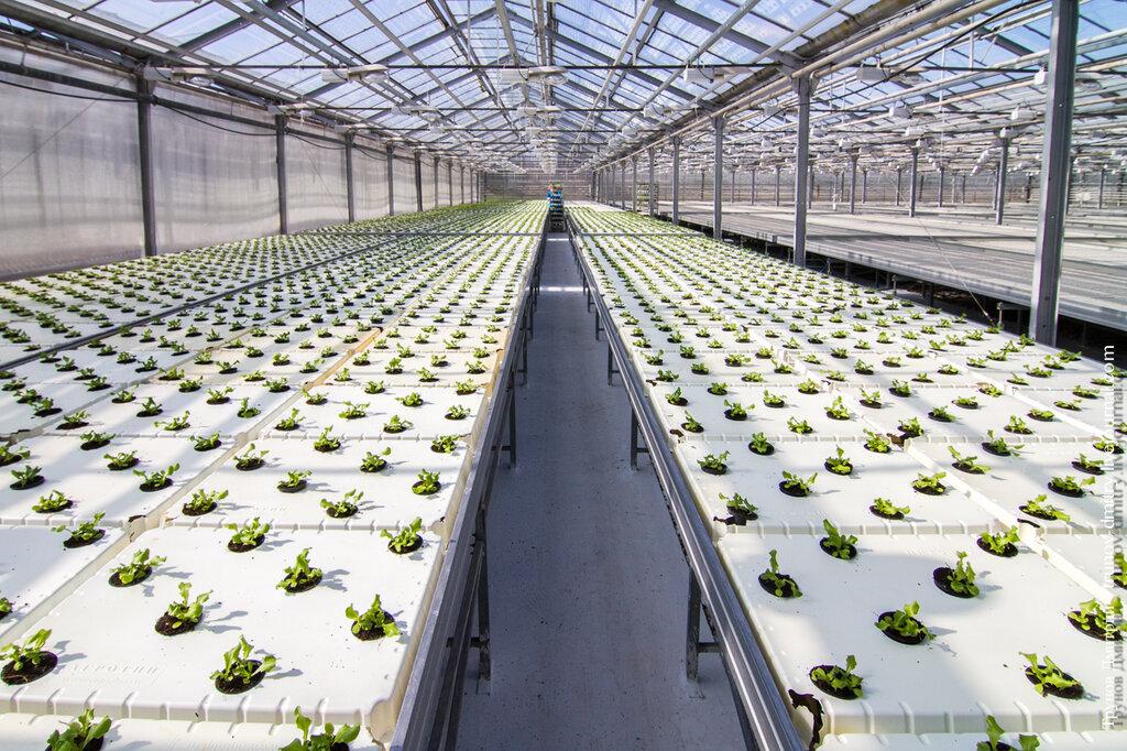 Как выращивают салат
