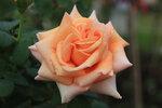 Роза Вом Вишес (Warm Wishes) чайно-гибридная штамб 100 см Fryers 1994 Питомник Fryers Roses Посадка май 2011 года