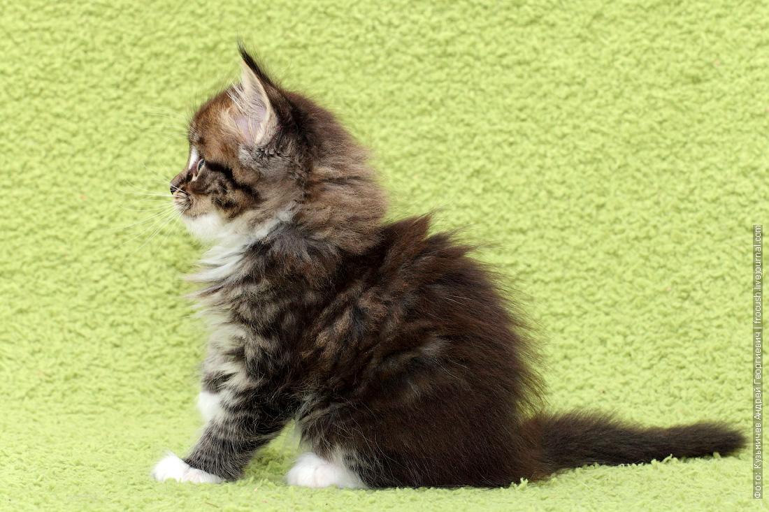 мейнкун котята купить