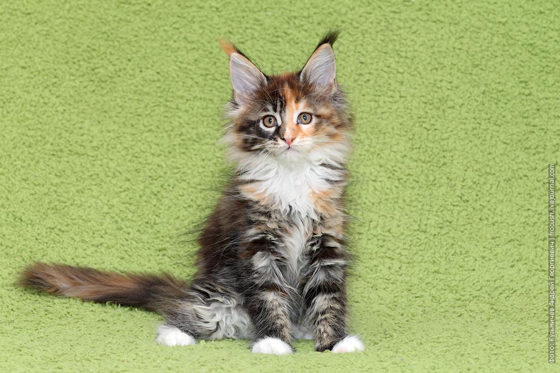 котята мейнкун из питомника в москве