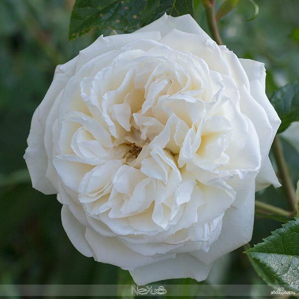 Я люблю все цветы, выпуск 115 | Роза - «Королева цв5a8етов». | «Osiria» и белая