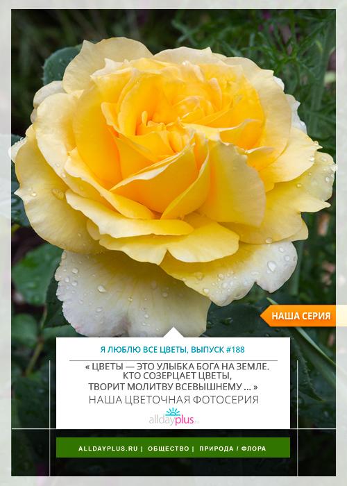 Я люблю все цветы, выпуск 188 | Роза - «Королева цветов».