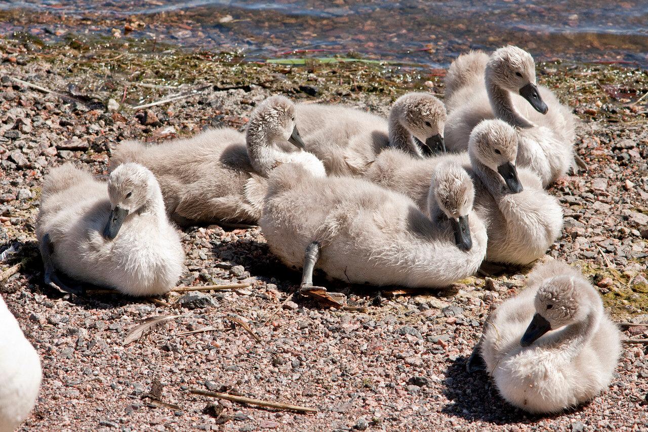 Птенцы лебедя