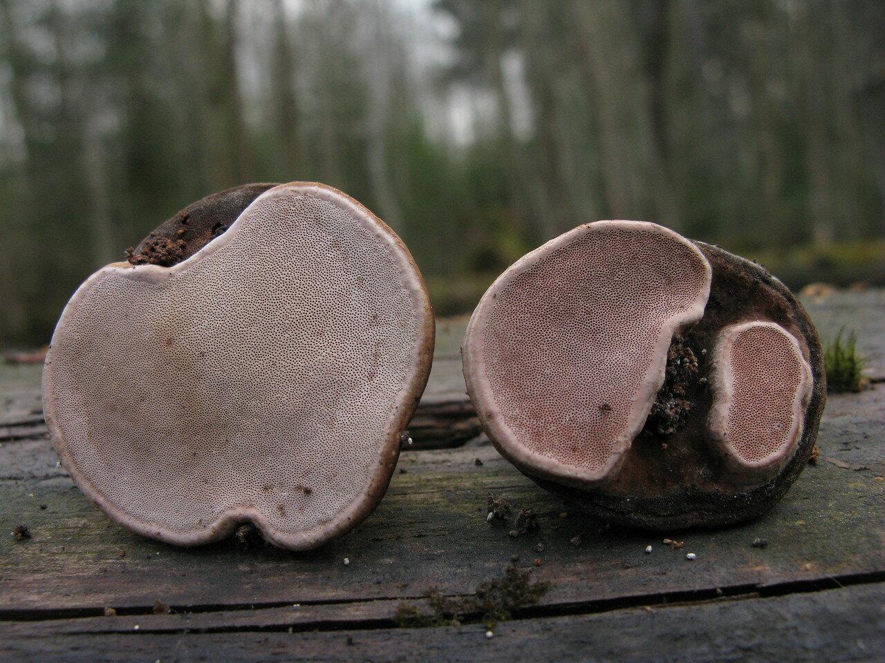 Трутовик розовый (Fomitopsis rosea) Автор фото: Станислав Кривошеев