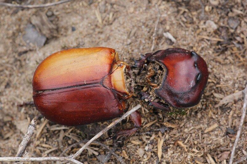 Обглоданный скелет жука-носорога