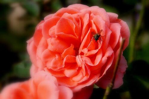 Роза в брошкой