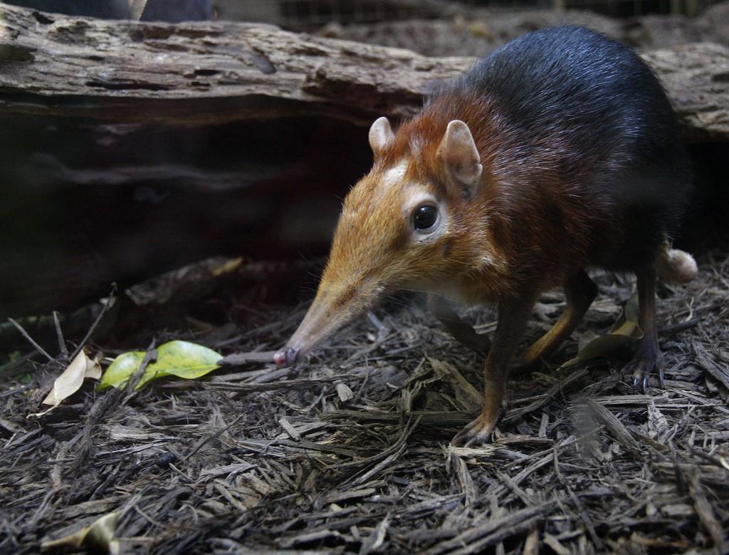 Хоботковая собачка Петерса Живая природа