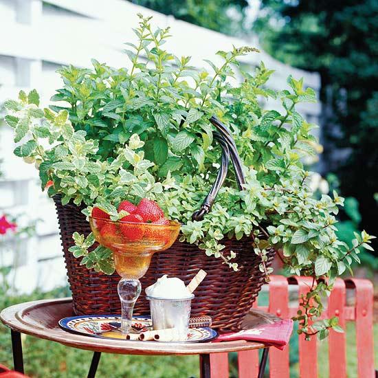 Чайные травы в вашем саду-мята