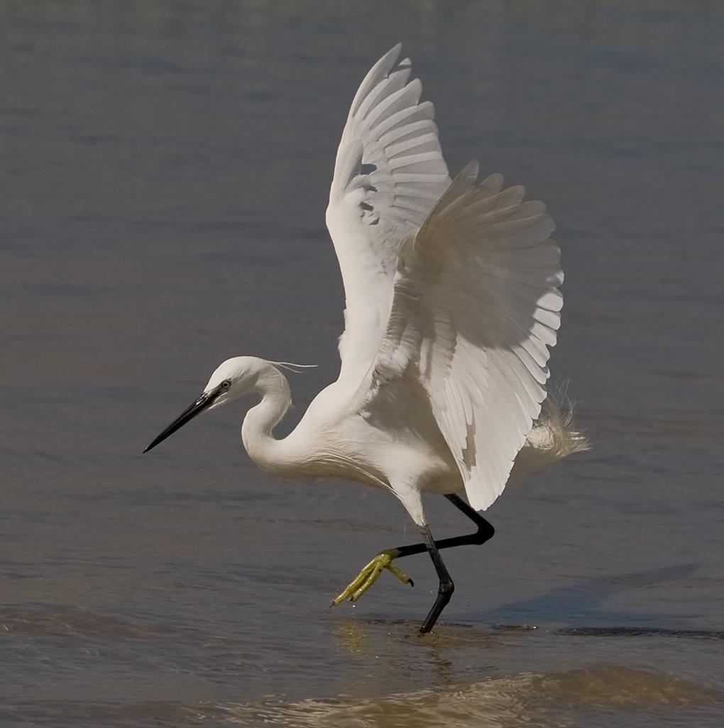 Little Egret  Diet and Foraging  Neotropical Birds Online