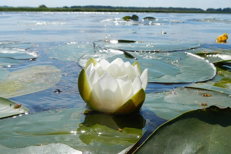 Кувшинка снежно-белая (чистобелая, белоснежная) (лат. Nymphaea candida) на воде Чёрного озера в Кирове