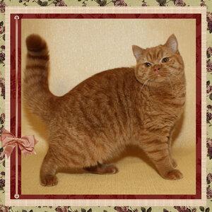 Верджиния d британская короткошерстная кошка красного окраса