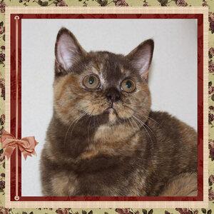 Asterix Assol h британская короткошерстная кошка шоколадного черепахового окраса