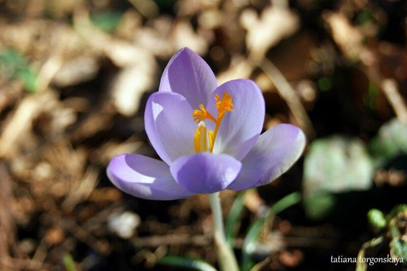 Цветок шафрана