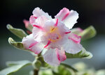 Adenium Obesum Variegated Double Flower KING II