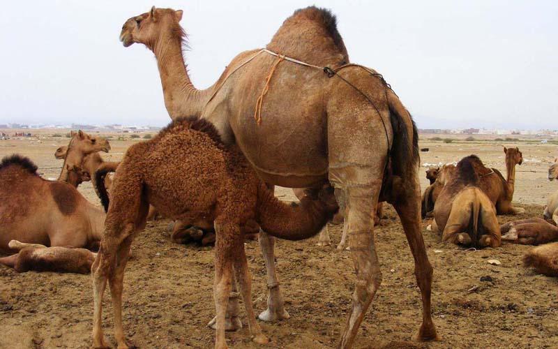 Пенис верблюда фото