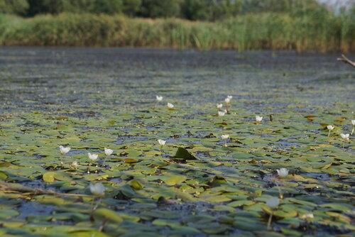 Водокрас лягушачий (Hydrocharis morsus-ranae) Автор фото: Привалова Марина