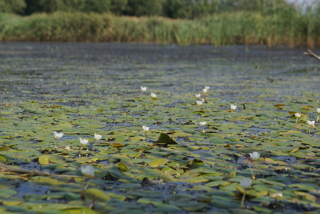 Водокрас лягушачий (Hydrocharis morsus-ranae). Автор фото: Привалова Марина