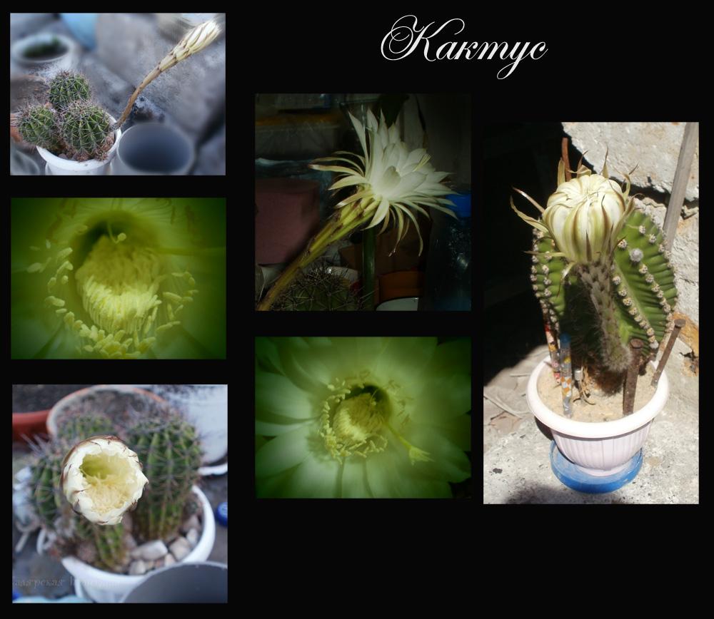 кактус который цветет белым