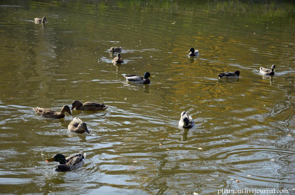 Утки на озере в сквере Фестивальный. Гомель.