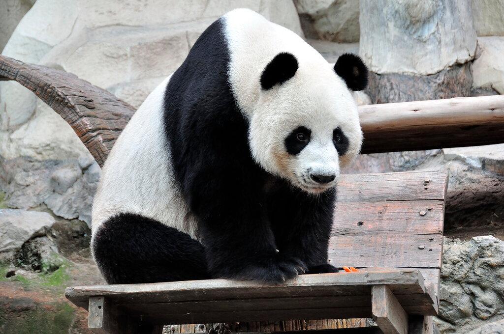 Панды в Таиланде