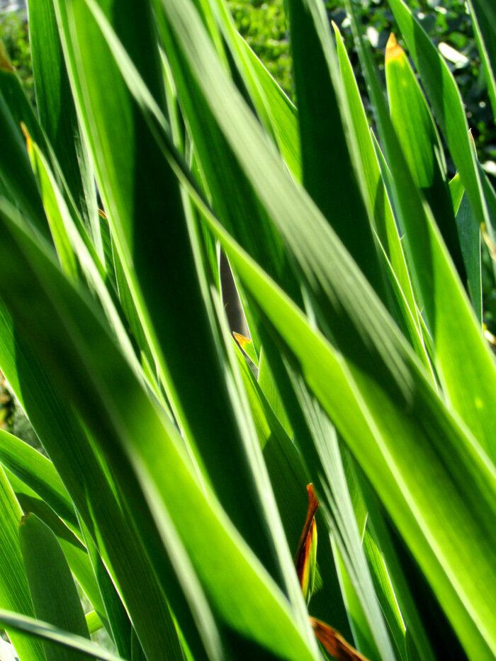 листья ирисов.jpg