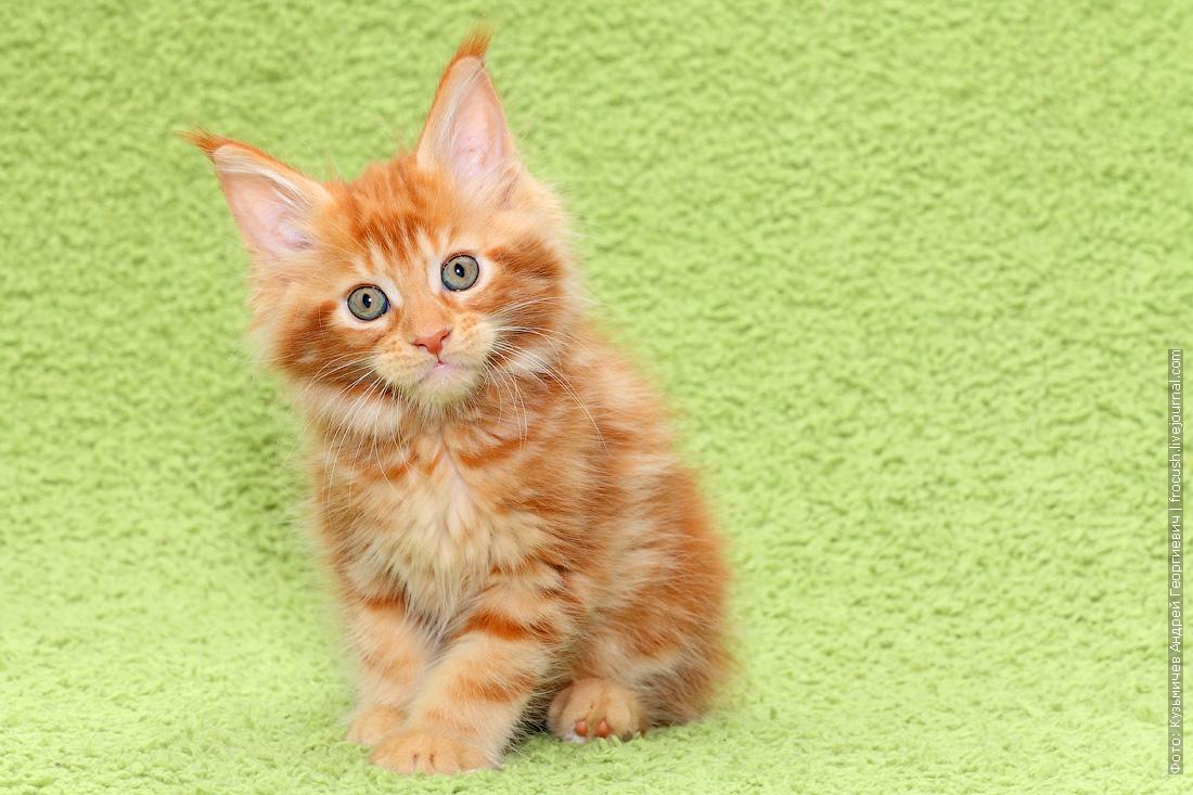из питомника продажа котят мейн кун